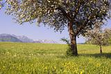fruit-tree and spring in austria