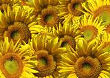 Background - decorative collage from sunflowers