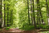 Beech forest during springtime