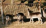 Group of deers eating at a haybox