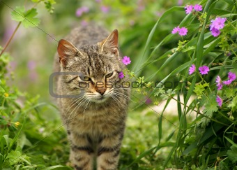 grey cat in spring flowering nature