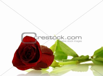 single red rose with droplets