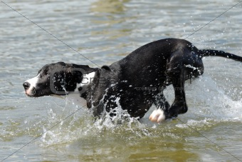 Great Dane running in water