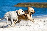 Golden retriever and lagrador on the beach
