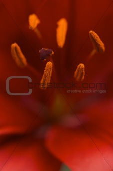 Beautiful Asiatic Lily Bloom Anthers