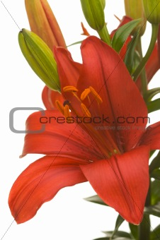 Beautiful Asiatic Lily Bloom
