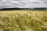 Cornfield wheat Germany (AJ)