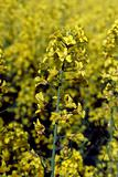 Rapeseed in germany (VE)