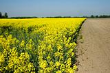 Rapeseed in germany (VF)