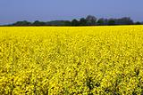 Rapeseed in germany (VM)