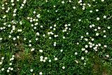 White daisy on green grass