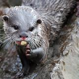 Otter eating