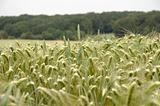 Cornfield wheat Germany (AT)