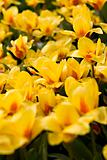 Close up picture of yellow tulips
