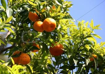 Branch of orange tree