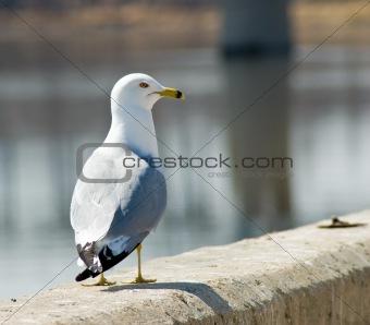 Single Seagull