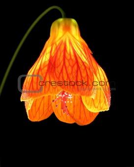 Abutilon as a lantern