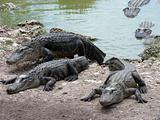 Alligators crawling out of the water