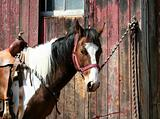 Saddled horse tied to a barn