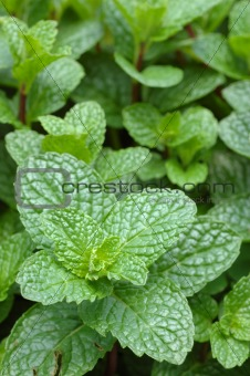 Close up of mint plant