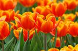 Orange tulips closeup
