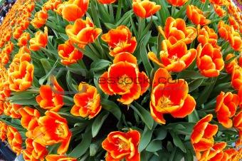 Fisheye view of orange tulips