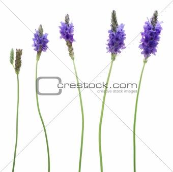 Five lavenders