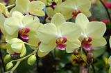 Cluster of yellow orchids