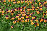 Purple-orange pansies