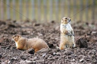Prairie dog (KU)