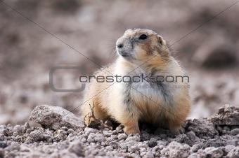 Prairie dog (KV)