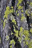 Close-up of Lichens on Wood