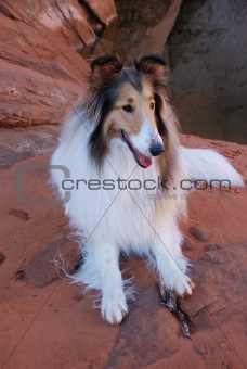 A Pretty Collie