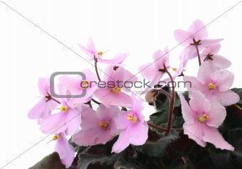 beautiful violets - pure white background