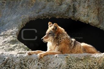 Solar wolf
