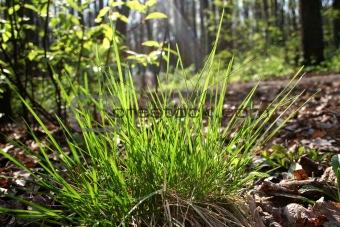 First spring grass
