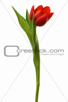 Beautiful and fresh tulip