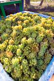 Bin of Grapes