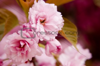 Close up of sakura flowers