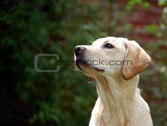 cute yellow labrador puppy