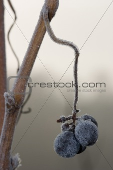 Four frozen red grapes