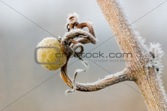 Single grape with ice crystals