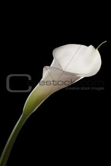 Beautiful white calla