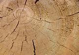 The Stem of the pine, сut.