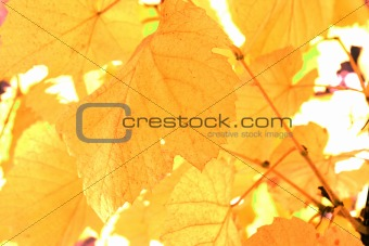 Beautiful background leafs