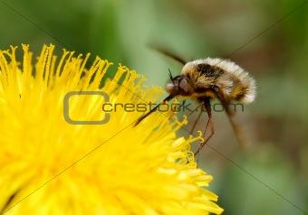 Beefly (Bombylius)