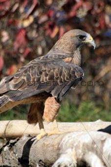 Beautifull hawk close-up