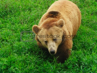 bear in bushes