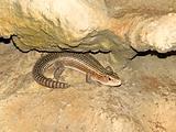 Single lizard