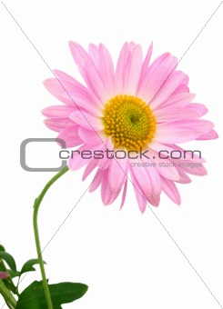 chrysanthemum on white